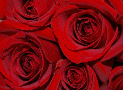 Rosas rojas..