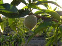 El Melocotón, fruta por excelencia de la Comarca de Guadix