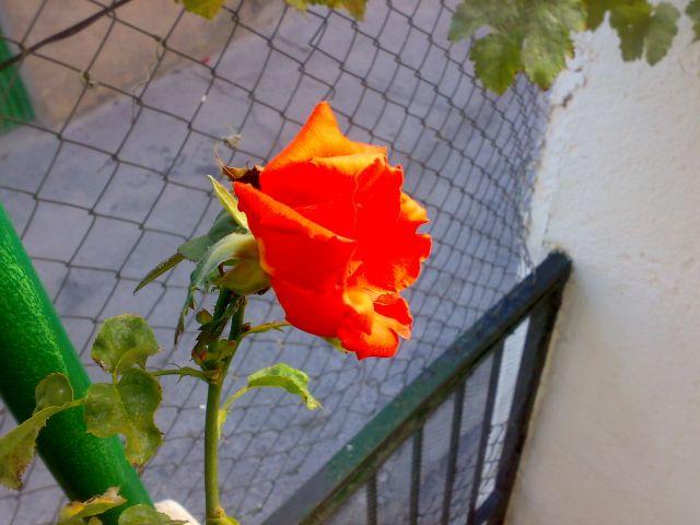 Rosa en octubre..