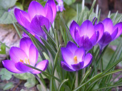 los primeros crocos de la primavera