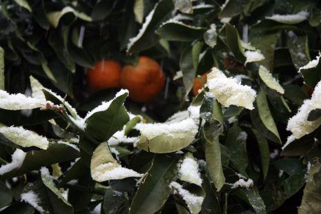 Naranjas nevadas