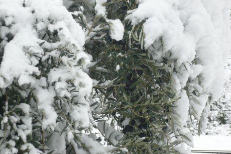 Aceitunas entre nieve