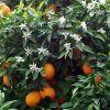 naranjas frutas con flores