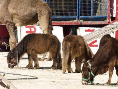 Ponys en el Circo Paris
