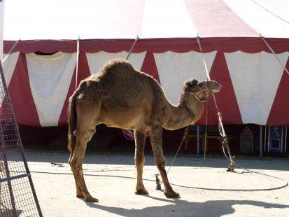 Camello en el circo Paris