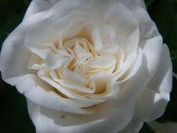 Rosa blanca de Alhama