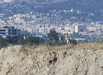 Hembras de cabra mont�s asom�ndose a Granada