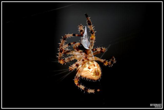 Araña capturando a su presa