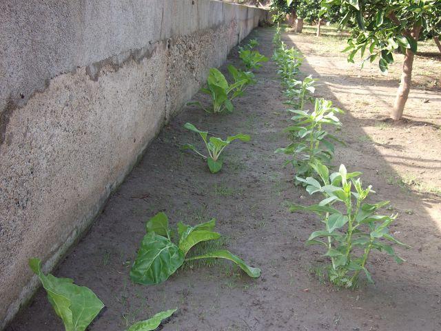 mi plantacion de habas y acergas