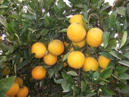 mis naranjas