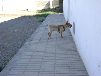 el perro mira atento