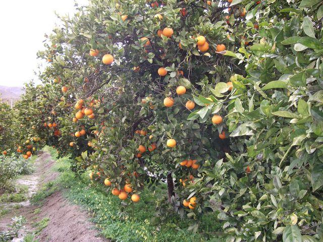 las naranjas