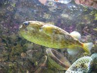 pez glodo