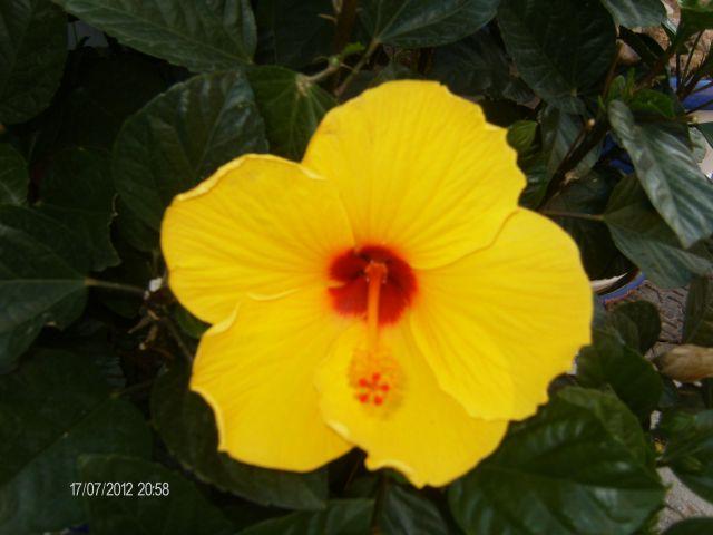 Flor del Hibico tipica  planta del clima mediterraneo,  parque del Mahuelo Almuñecar