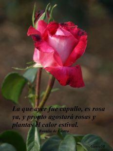 Rosa del Parque Garcia Lorca