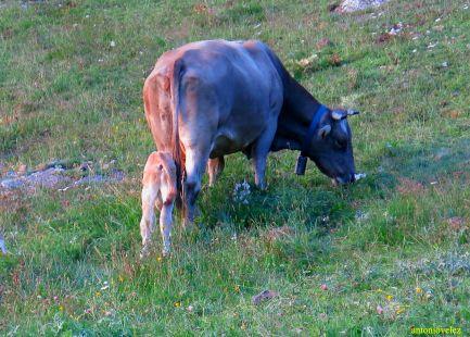 Vaca y ternero