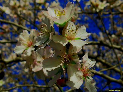 Flor del almendro