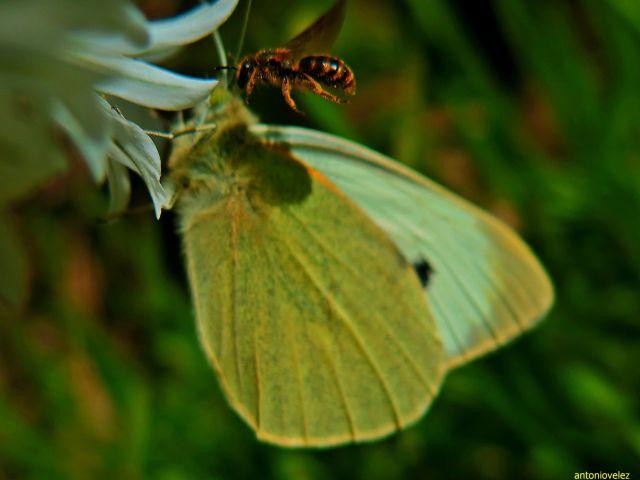Mariposa y abeja